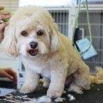 Jak przygotować psa do strzyżenia? Poradnik psiego fryzjera